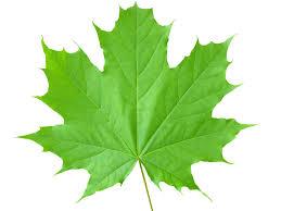 Maple Ridge Chorus Maple Leaf
